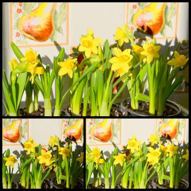 2014-03-01 daffodils1