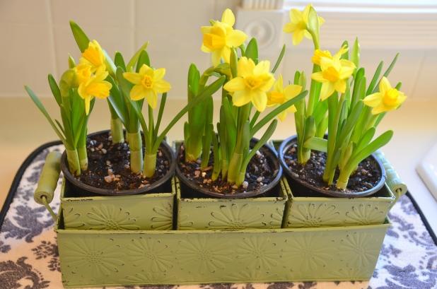 daffodils 008