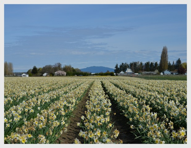 2014-04-07 Tulips1