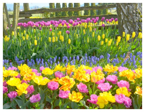 2014-04-07 Tulips10