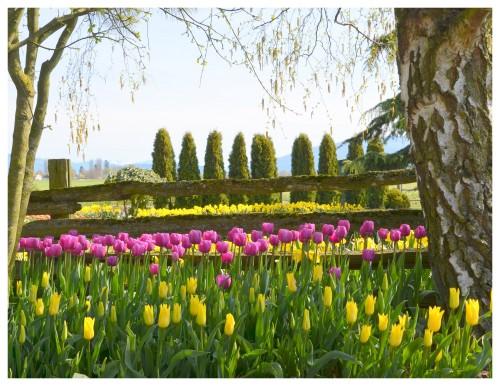 2014-04-07 Tulips12