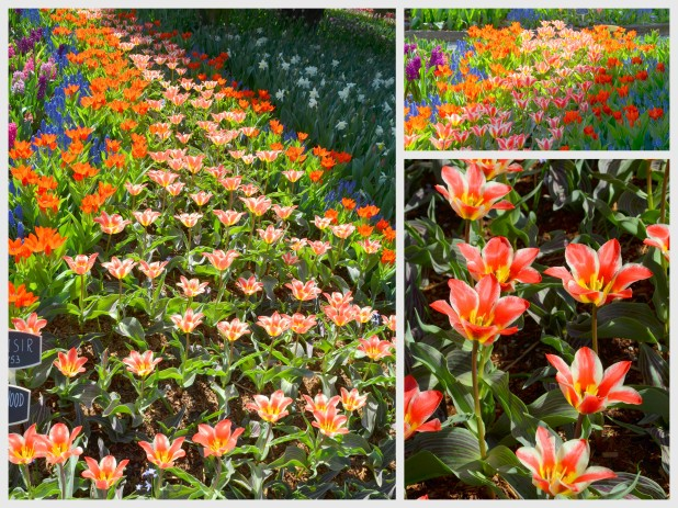 2014-04-07 Tulips2
