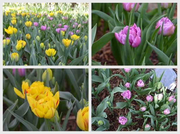 2014-04-07 Tulips5