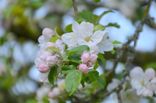 Apple Blossoms 003