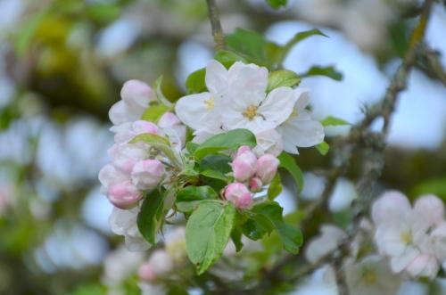 Apple Blossoms 003