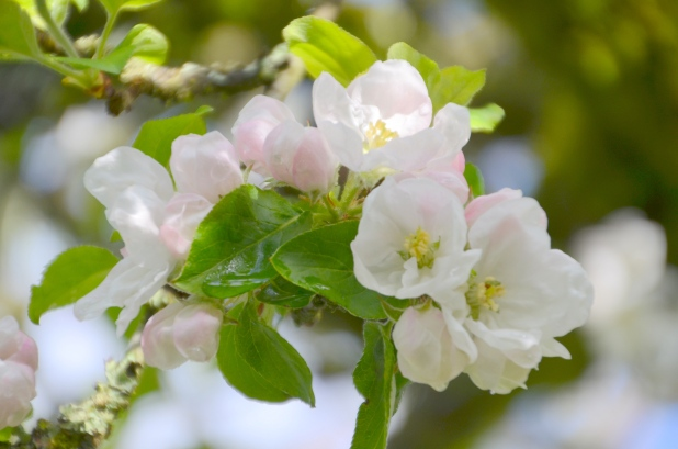 Apple Blossoms 010