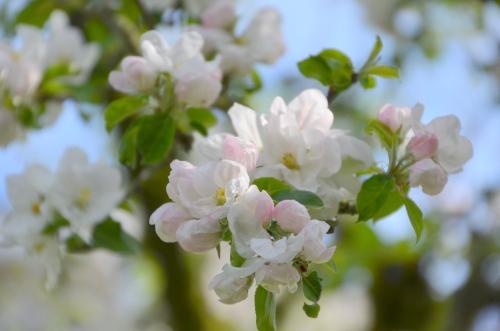 Apple Blossoms 013