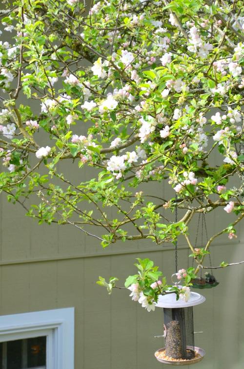 Apple Blossoms 026