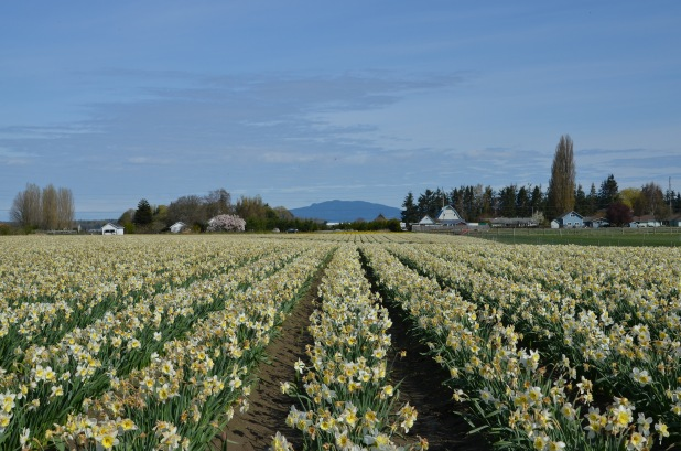 Tulips 046