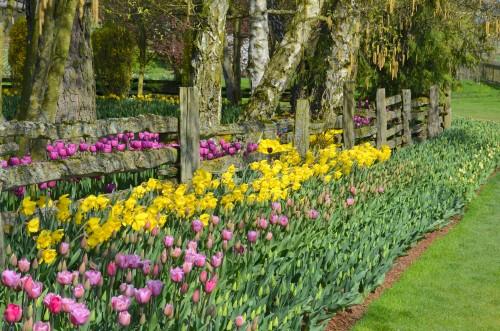 Tulips 098