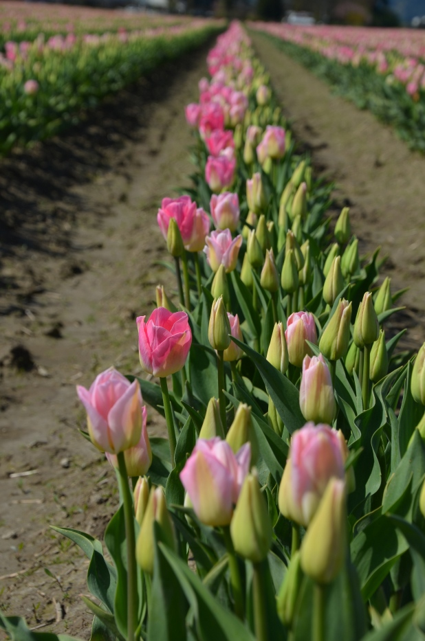 Tulips 163