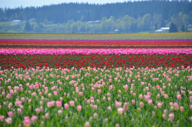 Tulips 170