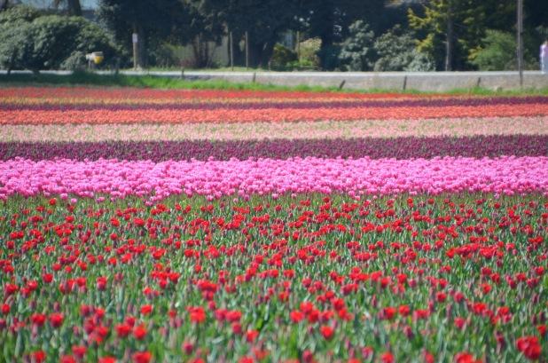 Tulips 176
