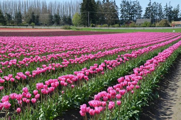 Tulips 177