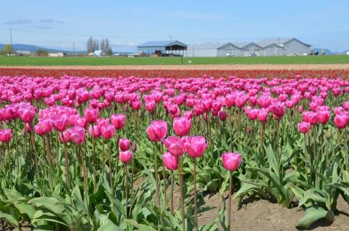 Tulips 178