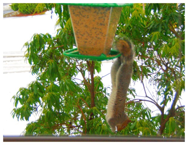 2012-01-21 Pesky Squirrel
