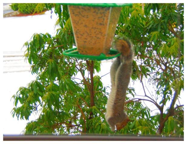 2012-01-21 Pesky Squirrel