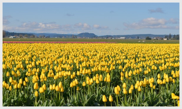 2013-04-16 tulips nikon