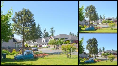 2014-06-02 pine tree