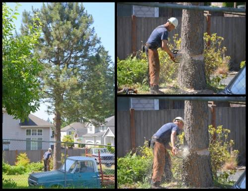 2014-06-02 pine tree2