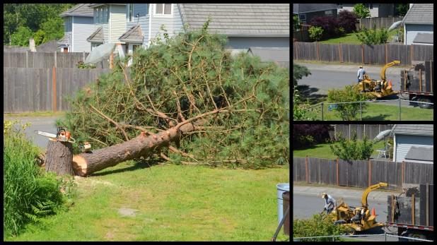 2014-06-02 pine tree3