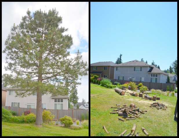 2014-06-02 pine tree6