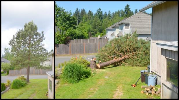 2014-06-02 pine tree7