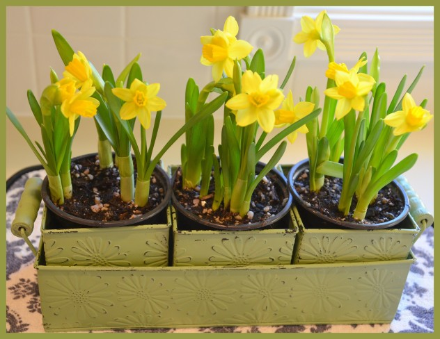 2014-03-01 daffodils2