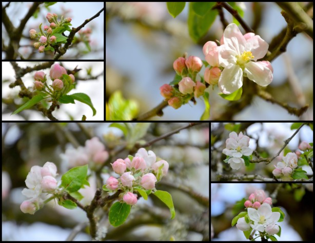 2015-04-03 siding apple blossoms1