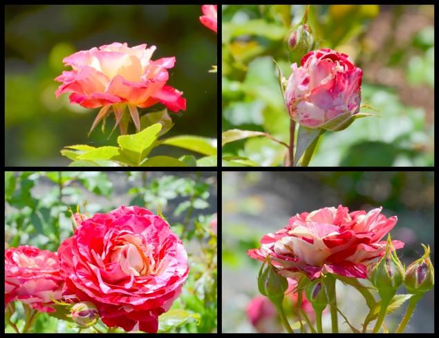 2016-05-31 rosella2