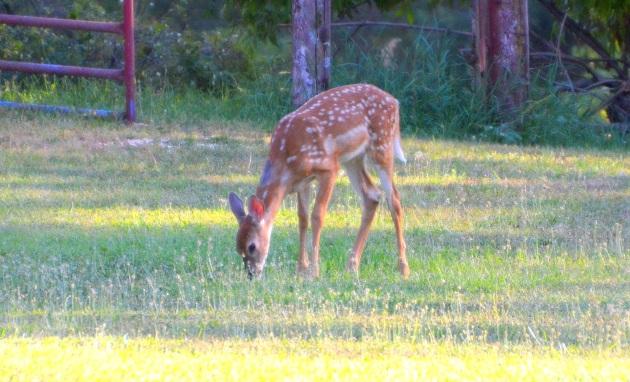 deer-fawn 001