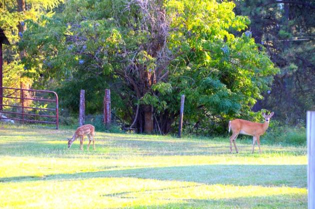 deer-fawn 002
