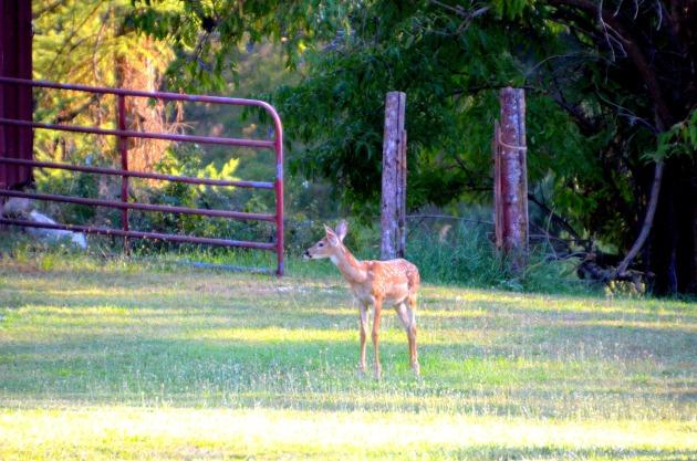 deer-fawn 004